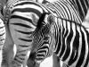 Zebra No.3